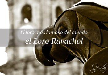 Loro Ravachol en Pontevedra