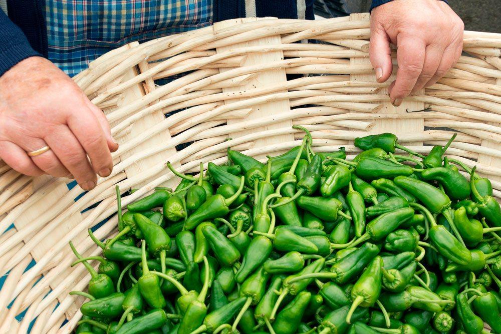 Pimientos de padrón dentro de una cesta de mimbre que sujetan las manos de una señora gallega. Los pimientos son de un verde intenso.